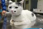 Lečenje mačke pogođene metkom