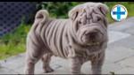 Embedded thumbnail for Šer pej - zanimljivosti i karakteristike - Mario Tikvicki, veterinar, RTV City Subotica, Shar pei